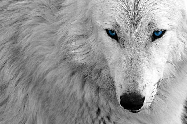 An edit -- White Wolf Blue -- Desktop Wallpaper Background