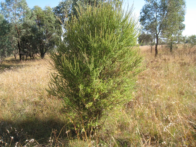 tea-tree bush