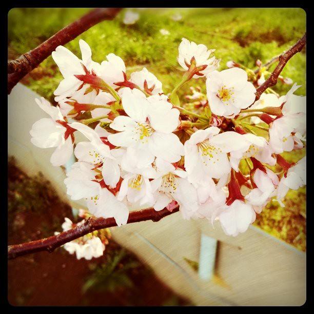 プライベート桜