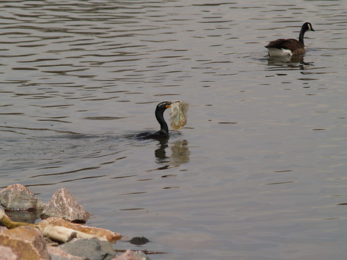 Cormorant + Plastic Bag :(