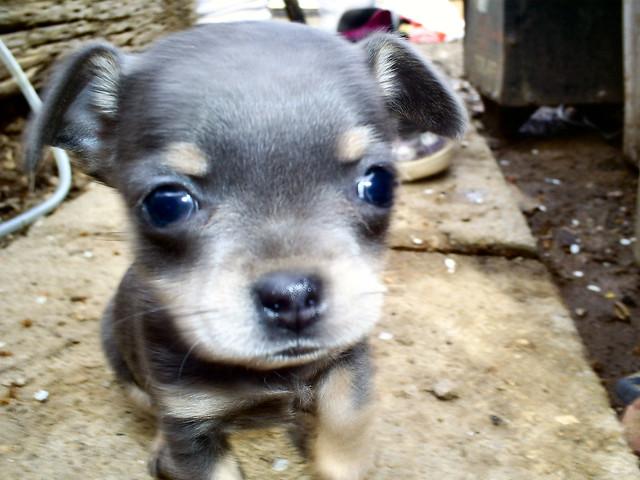 Cute Puppy Chihuahua Big Eyes Adorable