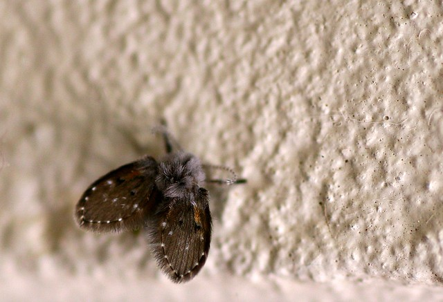 drain fly tiny moth like thing flickr photo sharing. Black Bedroom Furniture Sets. Home Design Ideas