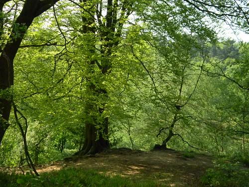 Trees above Harrison Rocks