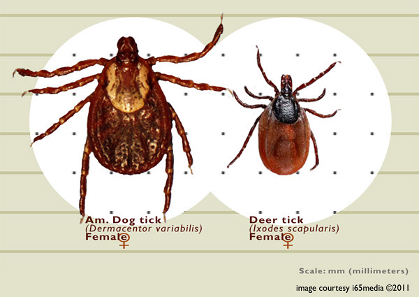 adult female deer tick
