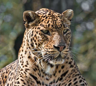Portrait of a Leopard - (Explored)