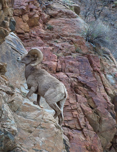 mountains colorado sheep wildlife rocky canyon bighorn ram hardscrabble camfirephotos