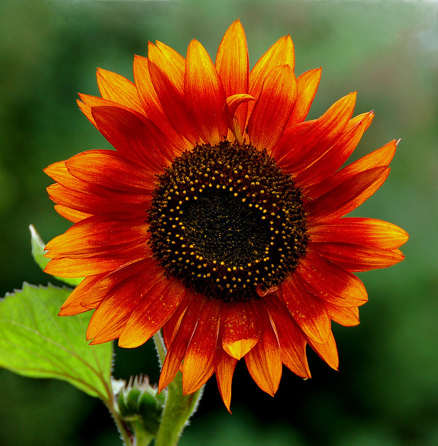 Colorful Sunflower Flickr Photo Sharing