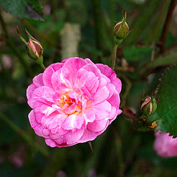 Rosa_redoute_red_LW603518