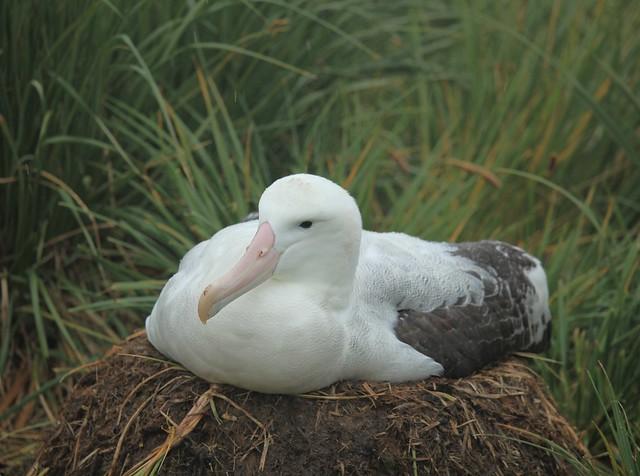 5746614905 fb8040a0aa z jpgWandering Albatross Nest