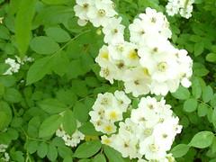 blossom, shrub, flower, plant, subshrub, herb, wildflower, flora, rosa multiflora, rosa pimpinellifolia,
