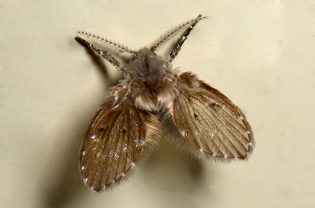 Moth Fly Larvae http://www.flickr.com/photos/jean_hort/5840929387/