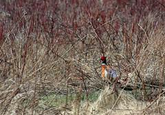 hunting(0.0), animal(1.0), prairie(1.0), pheasant(1.0), branch(1.0), fauna(1.0), wilderness(1.0), bird(1.0), wildlife(1.0),