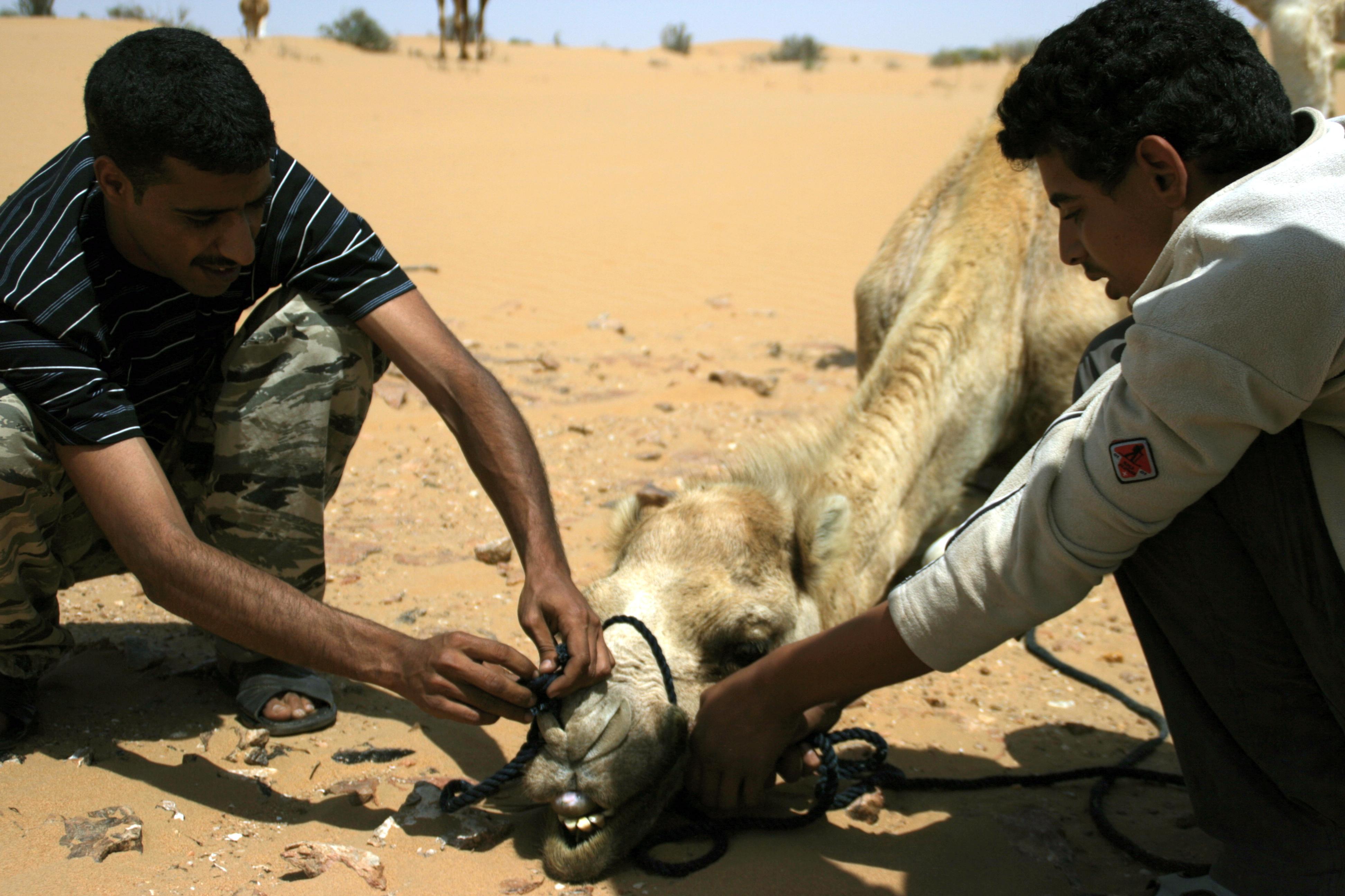 Lligant el camell 1