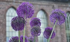 english lavender(0.0), lavandula stoechas(0.0), lavender(0.0), floristry(0.0), hyacinth(0.0), flower(1.0), purple(1.0), violet(1.0), plant(1.0), lilac(1.0), lavender(1.0), flora(1.0), onion genus(1.0),