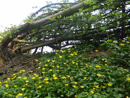 Laid hedge with Celandine