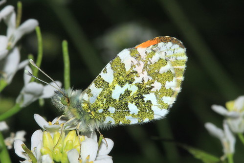 Orange Tip Butterfly 4447