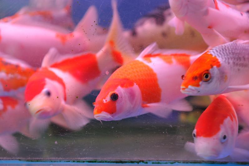 Guangzhou Fang Cun fancy carp