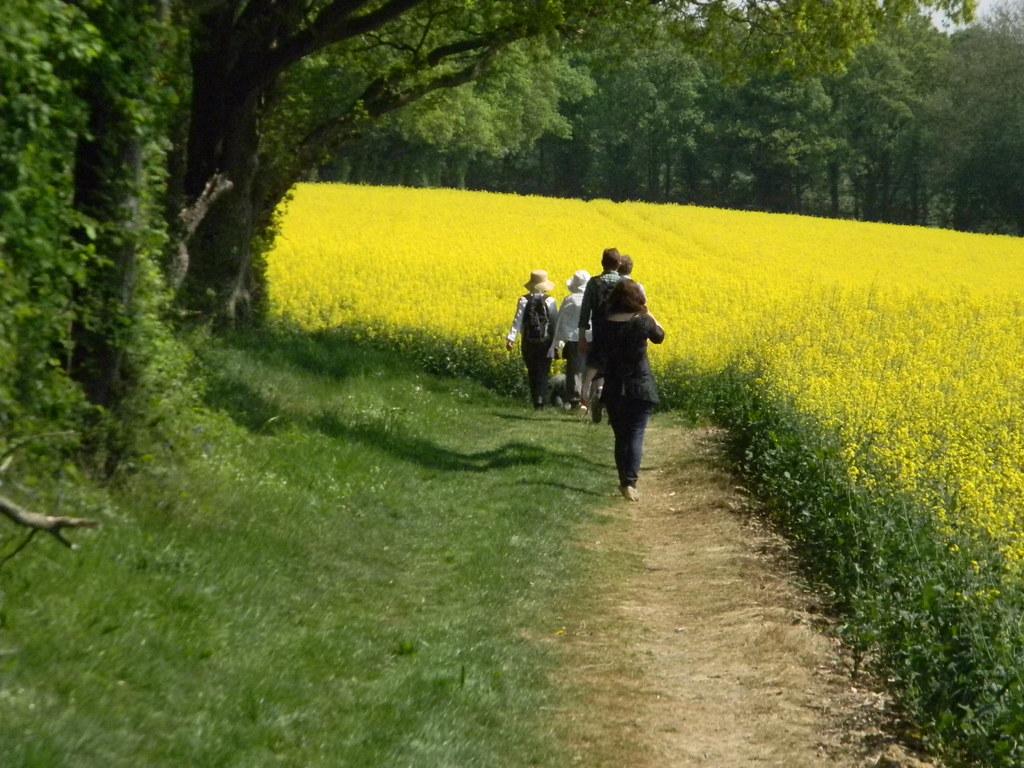 Oilseed rape Staplehurst to Headcorn