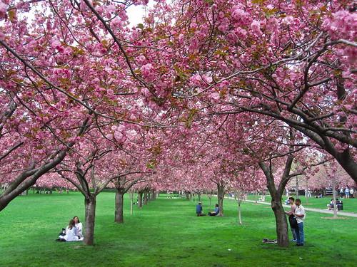 Cherry Esplanade