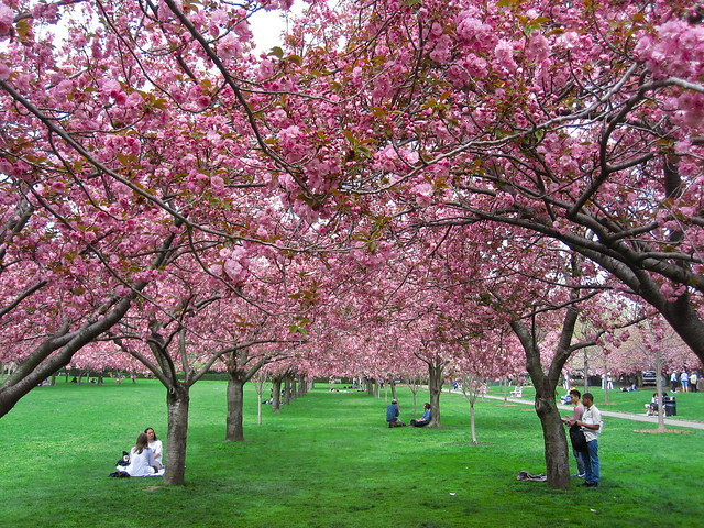 Cherry Esplanade in bloom. Photo by Rebecca Bullene.