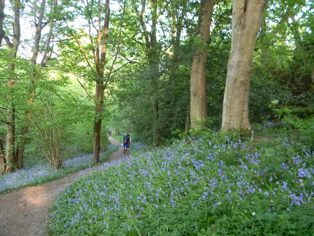 Bluebells Friezeland Wood Frant to Tunbridge Wells