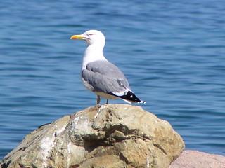 Gull Yellow Legged , larus cahinnans ,  Annaxos 20/05/03