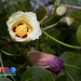 Indian Tulip-tree - Photo (c) Ria Tan, some rights reserved (CC BY-NC-SA)