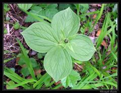 Parisette à quatre feuilles (Paris quadrifolia)