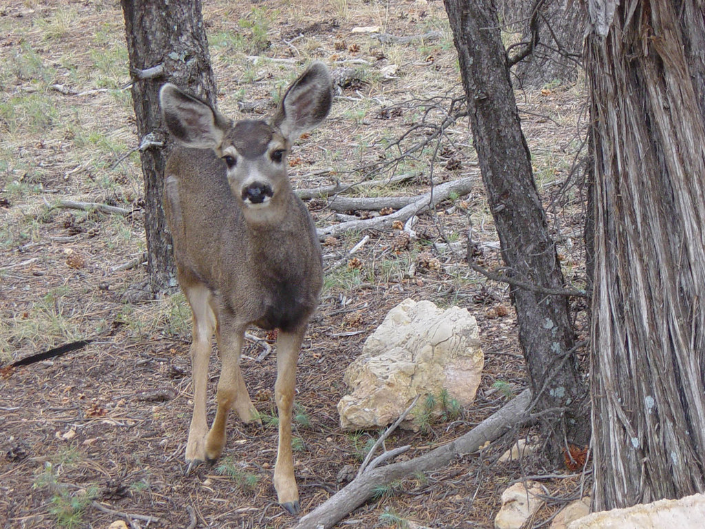 Mule Deer at Grand Canyon National Park D1879