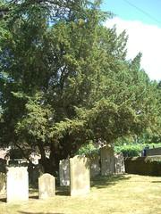 Yew at All Saint's Churchyard
