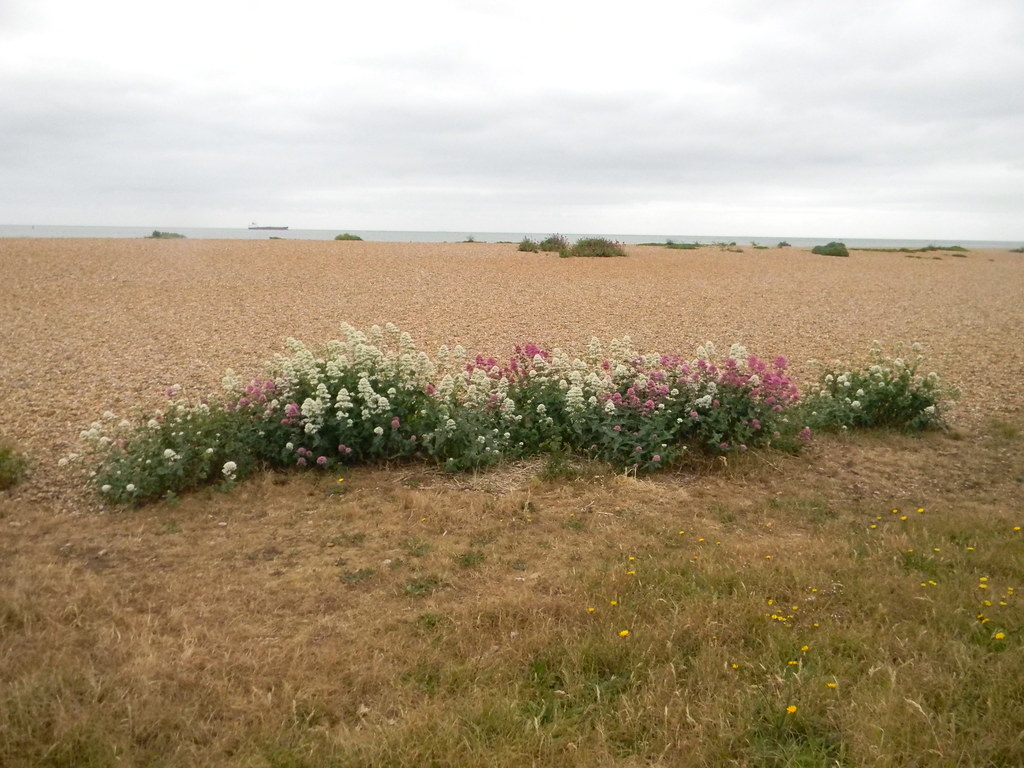 Red Valerian Deal to Dover