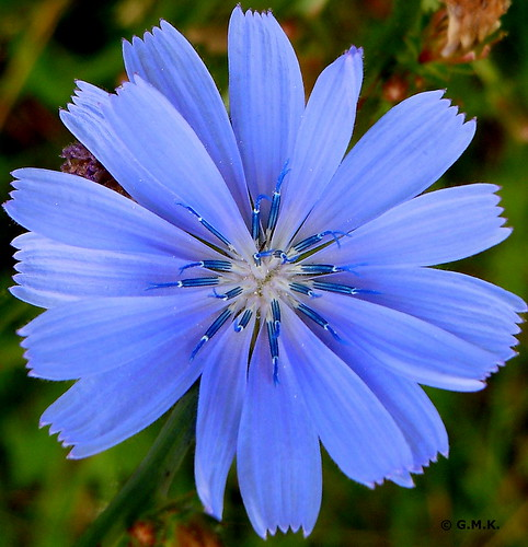 Common Chicory - Wegwarte - (Cichorium Intybus)