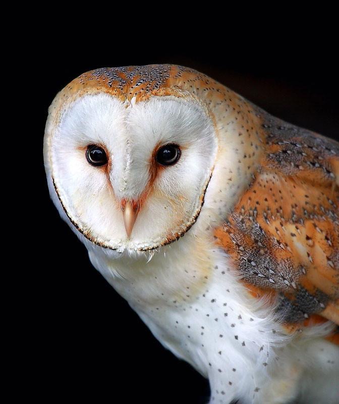 Barn owl  (Tyto alba) Eagle Heights Kent