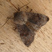Small photo of Clouded Drab. Orthosia incerta.