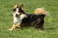 phalã¨ne(0.0), miniature australian shepherd(0.0), spaniel(0.0), australian terrier(0.0), papillon(0.0), dog breed(1.0), animal(1.0), dog(1.0), mammal(1.0), shetland sheepdog(1.0),