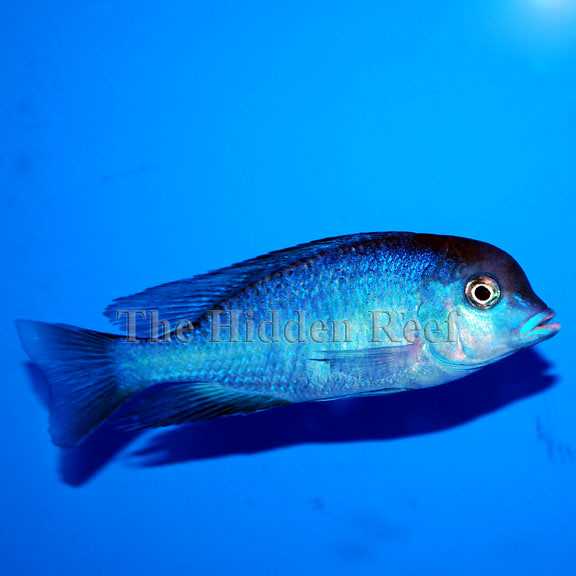 hap.-moori-blue-dolphin-cichlid Explore Felicia McCaulley ...