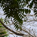 Small photo of Ailanthus triphysa