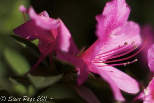 pink eos blossom bokeh pistil bloom azalea stevepage staman itail canonef24105mmf4lisusm stephenpage canon7d