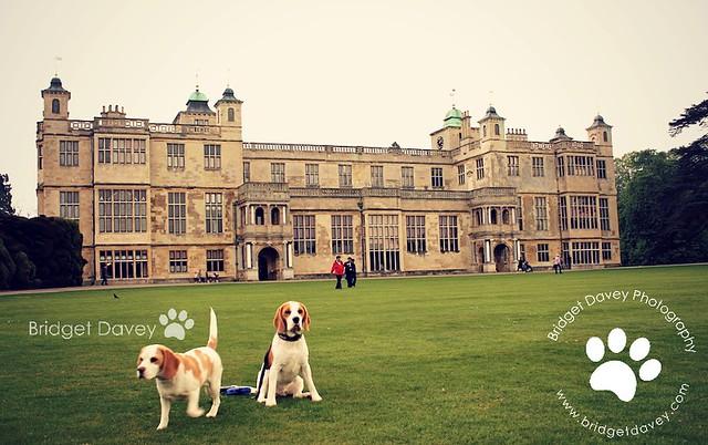The Beagles   Pet Photography Cambridgeshire