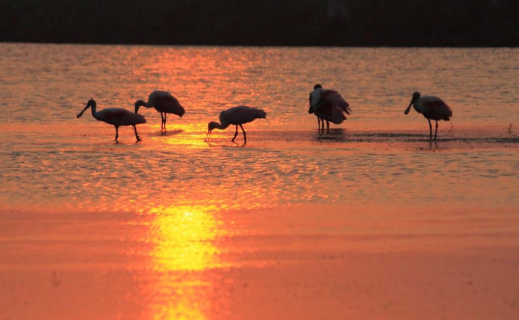 Spoonbill Sunset