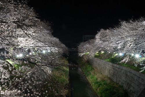 Hanami in Japapn