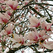 A Few More Magnolia Flowers... by TaraFly