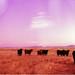 cows / Ft. Davis by David Adam Salinas