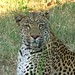 Small photo of Leopard, Kruger