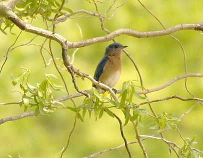 Josh Greene Eastern Bluebird