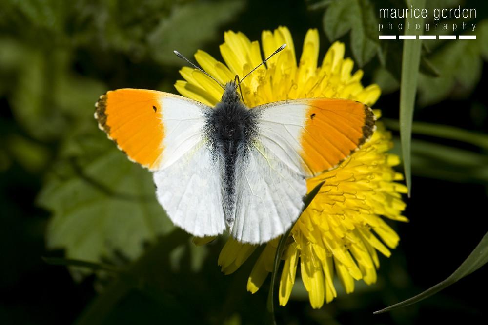 orange-tip35