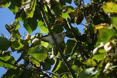 Red-eyed Vireo (C.Moore)