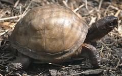 animal, turtle, box turtle, reptile, fauna, close-up, wildlife, tortoise,