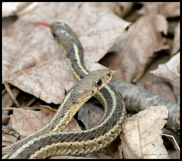 Common Garter Snakes Thamnophis Sirtalis Flickr
