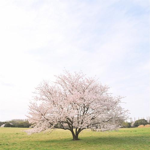 桜 2011 #1